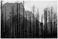 Burned forest from 2015 wildfire and peaks. Glacier National Park ( black and white)