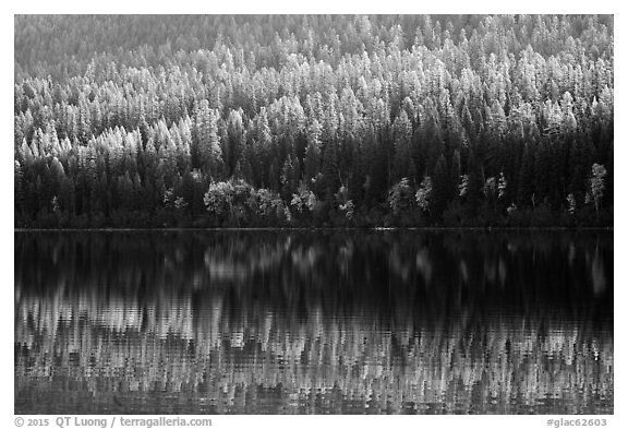 Conifer forest with autumn color accents and reflection, Bowman Lake. Glacier National Park (black and white)
