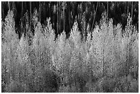 Aspen in autumn foliage, North Fork. Glacier National Park ( black and white)