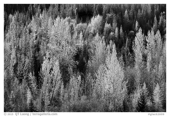 Leaves of aspen in autum foliage glow in backlight, North Fork. Glacier National Park (black and white)
