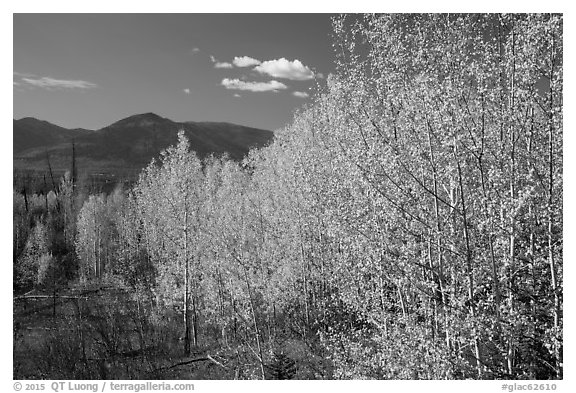Aspen forest and mountains. Glacier National Park (black and white)