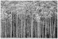 Dense aspen grove autumn, North Fork. Glacier National Park ( black and white)