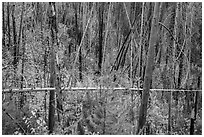 New growth alongs trees burned by 2007 wildfire. Glacier National Park ( black and white)