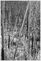 Burned trees and new growth in autumn. Glacier National Park ( black and white)