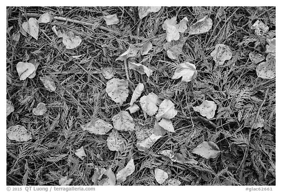 Close-up of forest floor with fallen leaves in autumn. Glacier National Park (black and white)