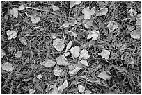 Close-up of forest floor with fallen leaves in autumn. Glacier National Park ( black and white)