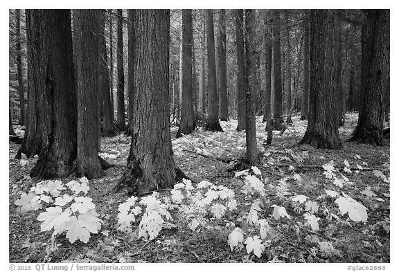 Old-growth forest with large leaves on floor in autumn. Glacier National Park (black and white)
