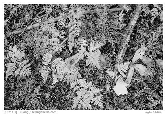 Close-up of ferns and fallen leaves in autumn. Glacier National Park (black and white)