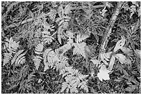 Close-up of ferns and fallen leaves in autumn. Glacier National Park ( black and white)