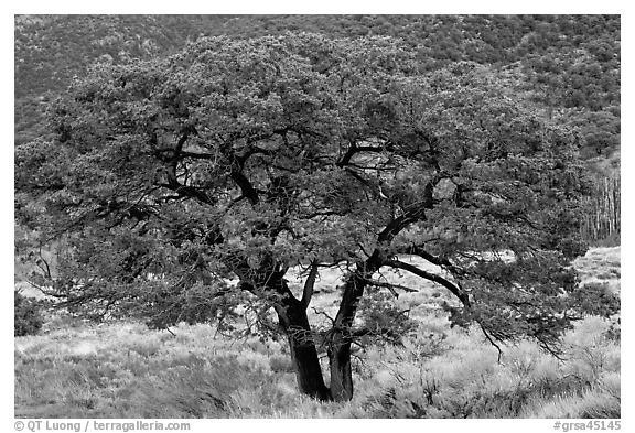 pinon tree coloring pages | Black and White Picture/Photo: Pinyon pine tree. Great ...