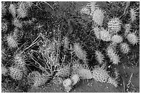 Ground close-up with flowers, cactus, and sand. Great Sand Dunes National Park, Colorado, USA. (black and white)