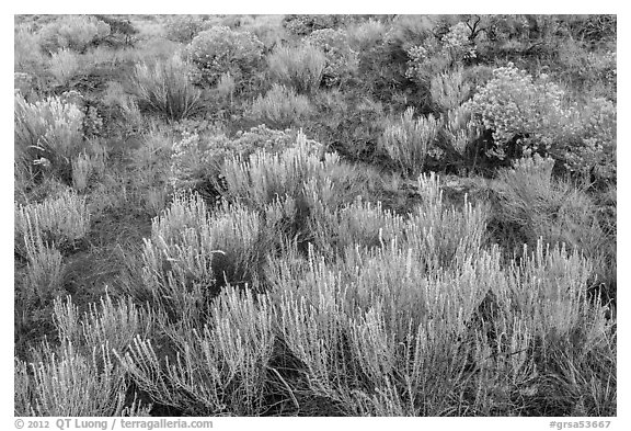 Grassland shrubs. Great Sand Dunes National Park and Preserve (black and white)