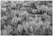 Grassland shrubs. Great Sand Dunes National Park and Preserve ( black and white)