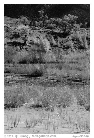 Shrubs and cottonwoods in autum foliage, Medano Creek. Great Sand Dunes National Park and Preserve (black and white)
