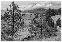 Pinyon pines. Great Sand Dunes National Park, Colorado, USA. (black and white)