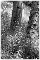 Aspen trunks in summer near Medora Pass. Great Sand Dunes National Park, Colorado, USA. (black and white)