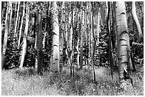 Aspen trees in summer near Medora Pass. Great Sand Dunes National Park, Colorado, USA. (black and white)