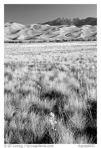 Grass and dunes, morning. Great Sand Dunes National Park and Preserve (black and white)