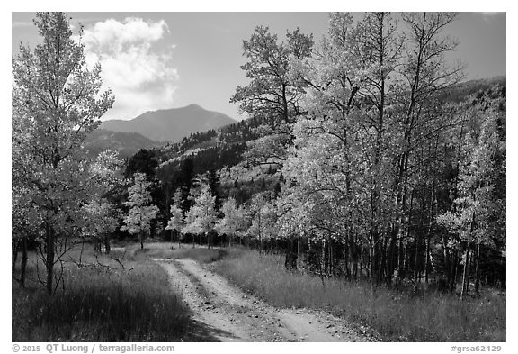 Medano primitive road surrounded by trees in autumn color. Great Sand Dunes National Park and Preserve (black and white)
