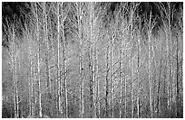 Bare trees. Grand Teton National Park, Wyoming, USA. (black and white)