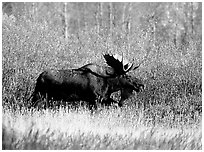 Bull moose in autumn. Grand Teton National Park, Wyoming, USA. (black and white)
