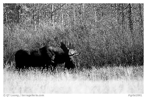 Bull moose out of forest in autumn. Grand Teton National Park (black and white)