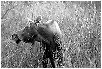 Cow moose browsing on plants. Grand Teton National Park, Wyoming, USA. (black and white)