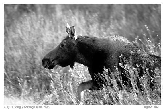 Cow moose running. Grand Teton National Park (black and white)