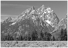 Cathedral group raising behind row of trees, morning. Grand Teton National Park ( black and white)