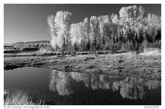 Aspen with autumn foliage, reflected in the Snake River. Grand Teton National Park (black and white)
