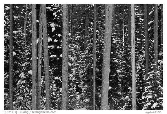 Pine tree trunks and snowy forest. Grand Teton National Park (black and white)