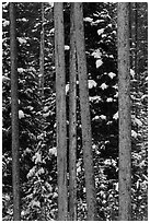 Trunks and evergreen in winter. Grand Teton National Park ( black and white)