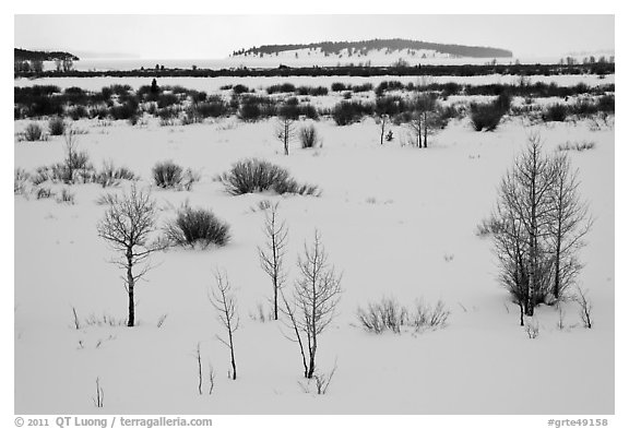 Winter landscape with bare trees and shrubs, Willow Flats. Grand Teton National Park (black and white)