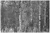 Aspen forest in winter. Grand Teton National Park ( black and white)