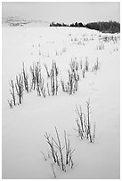 Shrubs in white landscape. Grand Teton National Park ( black and white)