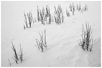 Shrubs and snowdrift patterns. Grand Teton National Park ( black and white)