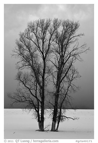 Bare cottonwood trees, snow and sky. Grand Teton National Park (black and white)