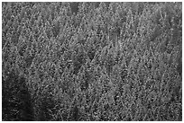 Hillside with frozen conifers. Grand Teton National Park ( black and white)
