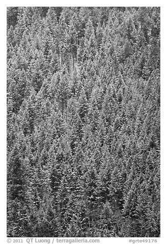 Dense snowy conifer forest. Grand Teton National Park (black and white)