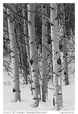 Aspen trunks in winter. Grand Teton National Park (black and white)
