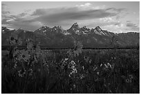 Arrowleaf Balsam Root and Tetons at sunrise from Antelope Flats. Grand Teton National Park ( black and white)
