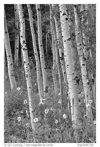 Sunflowers, lupines and aspen forest. Grand Teton National Park (black and white)