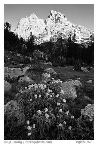 Columbine and Tetons, evening. Grand Teton National Park (black and white)