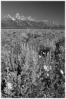 Arrowleaf balsam root and Teton range, morning. Grand Teton National Park, Wyoming, USA. (black and white)