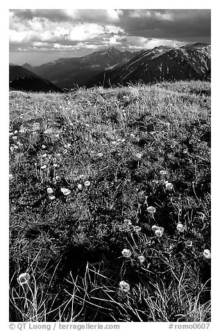 Alpine flowers on the tundra along Trail Ridge road. Rocky Mountain National Park (black and white)