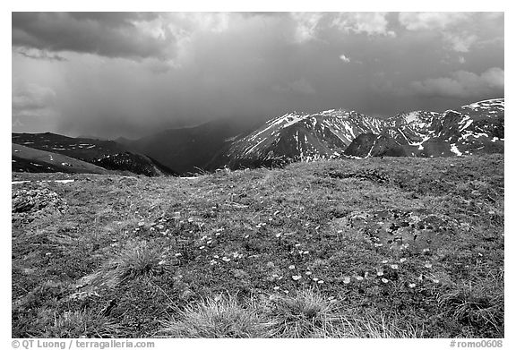 Alpine wildflowers and summer storm along Trail Ridge road. Rocky Mountain National Park (black and white)