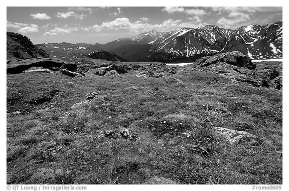 Alpine flowers on  tundra along Trail Ridge road. Rocky Mountain National Park (black and white)