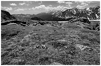 Alpine flowers on  tundra along Trail Ridge road. Rocky Mountain National Park ( black and white)