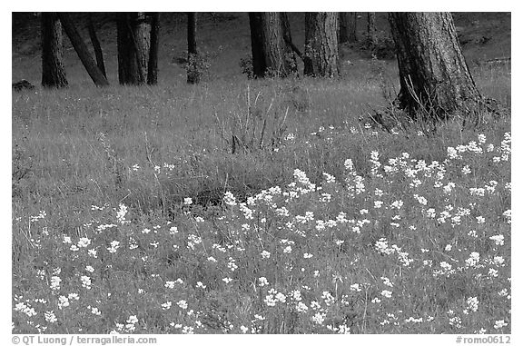 Flowers and tree trunks. Rocky Mountain National Park (black and white)