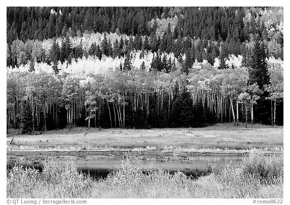 Yellow aspens and conifers Horseshoe park. Rocky Mountain National Park (black and white)
